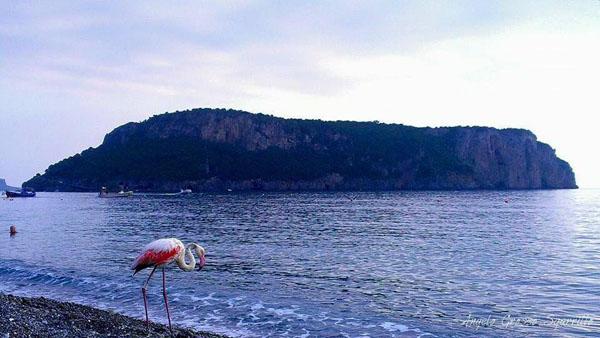 Il fenicottero rosa sulla spiaggia di Praia a Mare (foto: Angelo Grosso Sgarrill0)