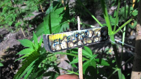 Il cartello indica la qualità di marijuana coltivata (foto: guardia di finanza)