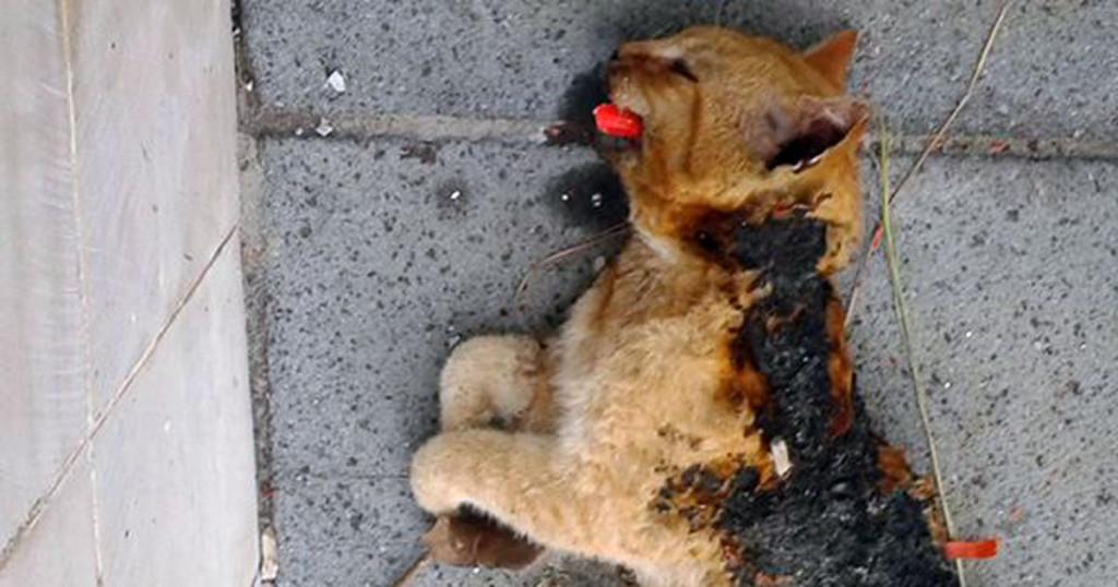 tortora gatto morto