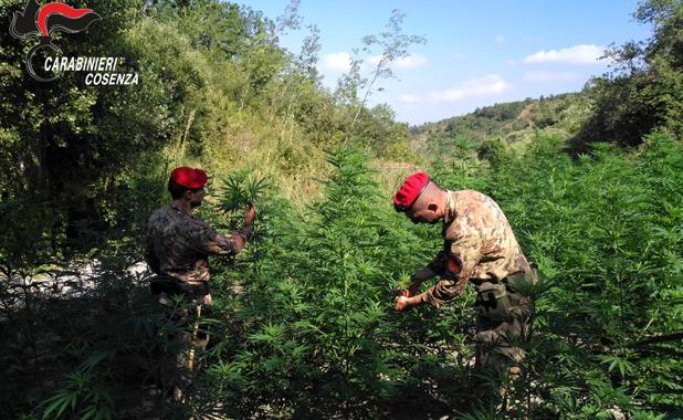 orsomarso piantagione marijuana carabinieri due arresti cetraro scalea