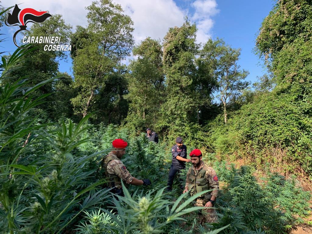 cetraro marijuana sequestro piante arresti