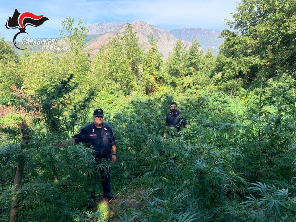 sangineto marijuana piantagione sequestro carabinieri