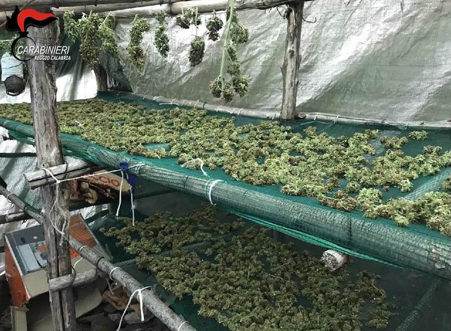 marijuana roccaforte del greco piantagione