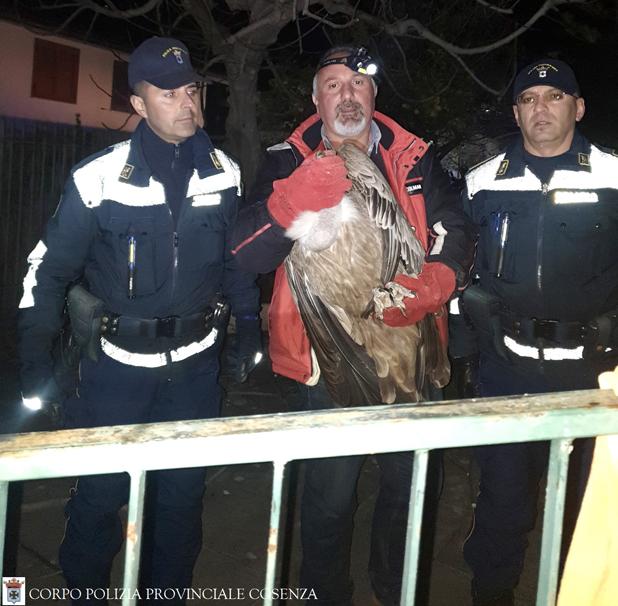 avvoltoio grifone cirella diamante parco pollino