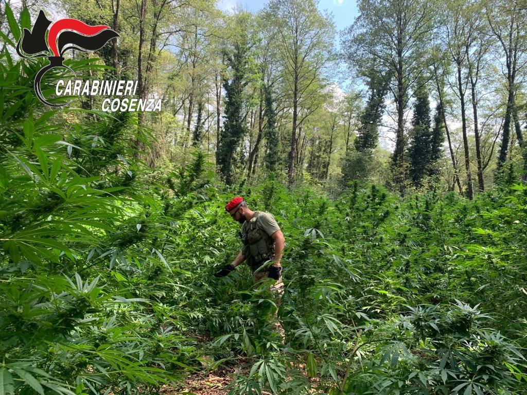 cetraro marijuana piantagione carabinieri