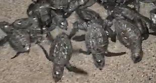 scalea tartarughe marine caretta caretta 7 settembre 2021